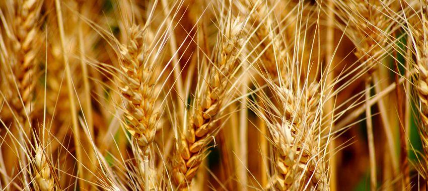 Аллергия на пшеницу — причины, симптомы и терапия