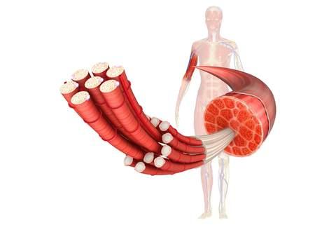 Aufbaue der Muskulatur