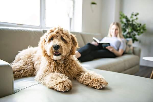 """Hunderassen wie der Labradoodle gelten als """"Allergikerhunde"""""""
